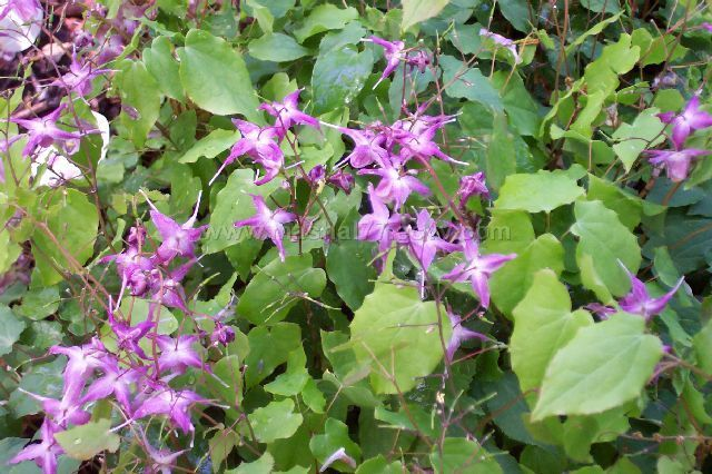 Horny Goat Weed (Epimedium grandiflorum) Extract Powder