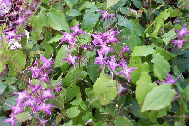 Horny Goat Weed (Epimedium grandiflorum) Extract Powder