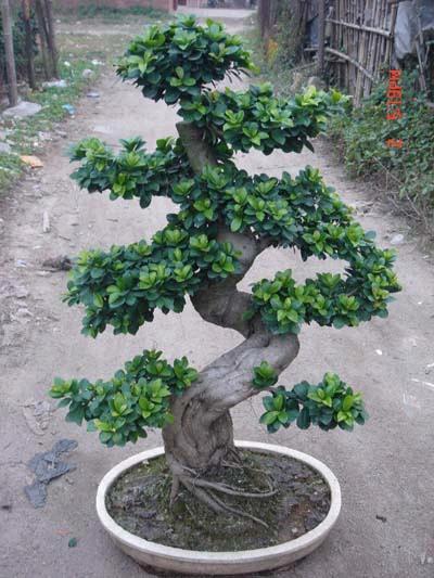 Duda con cuidados de ficus bonsai - Cuidado del bonsai ...