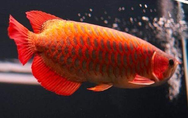 Asian red arowana fish purchasing souring agent ecvv for Red arowana fish for sale in usa