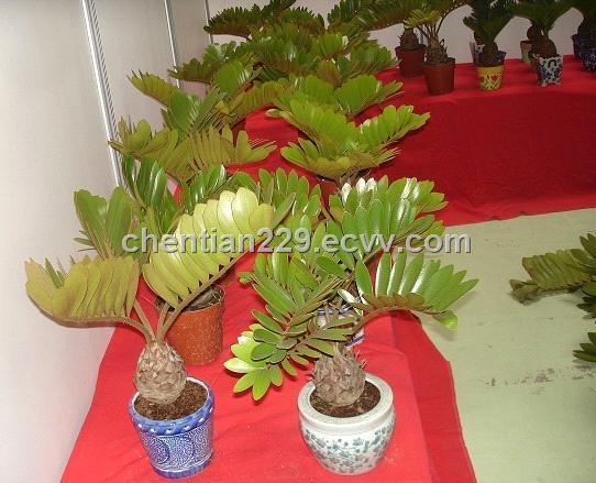 Zamia furfuracea purchasing souring agent for Planta ornamental zamia
