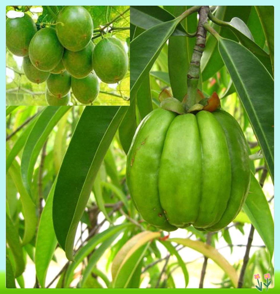 garcinia tree