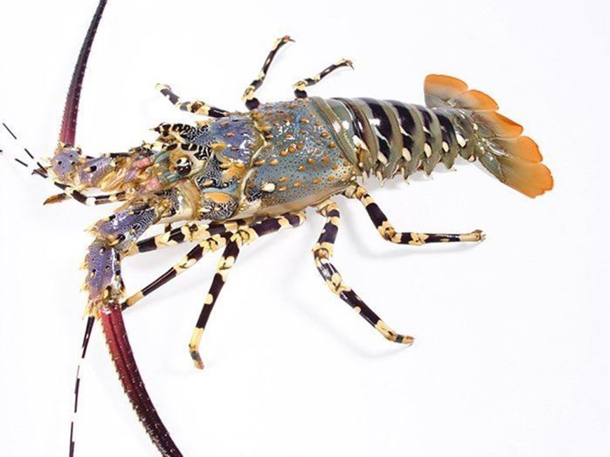 High quality Live and Frozen Tiger Lobsters