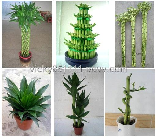 lucky bamboo / bonsai / pot plant / indoor plant purchasing ...