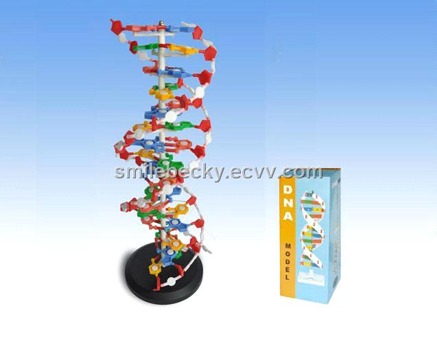 Dna structure model purchasing souring agent ecvv purchasing dna structure model ccuart Gallery